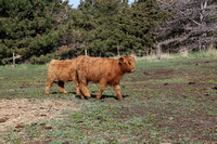 Highland_cattle_0015