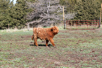Highland_cattle_0012