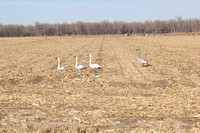 Trumpeter_swans_0002
