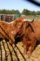 Highland_cattle_0006