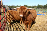 Highland_cattle_0008