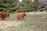 Highland_cattle_0011