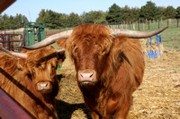 05-21-14 Highland Cattle